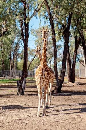 The longest neck in the animal world, the long legged and intricately patterned giraffe