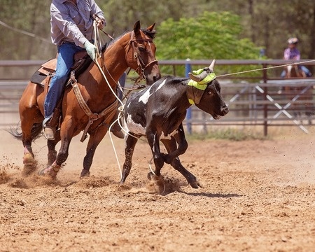 Team calf roping is a popular rodeo event, a sport sanctioned by Australian Team Roping Association