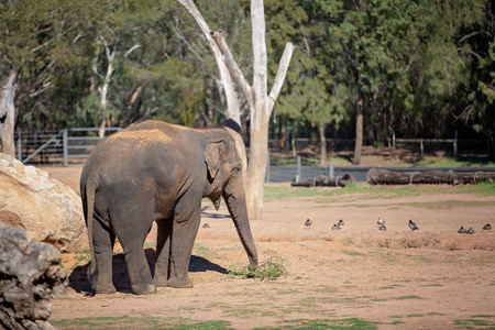 The elephant is the largest living terrestrial animal in the world Foto de archivo