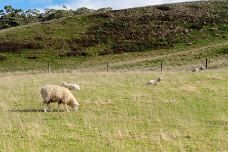 Four sheep on a hillside, one grazing, three lying peacefully resting Stock Photo