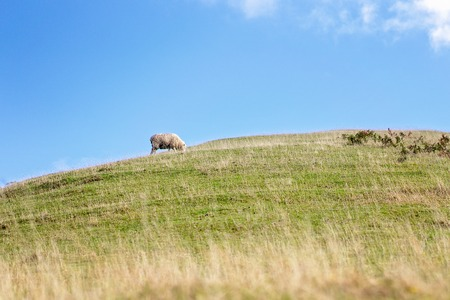 One lone sheep peacefully grazing on a hillside with blue sky background Stock Photo