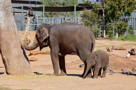 A mother elephant with her cute baby, eating hay