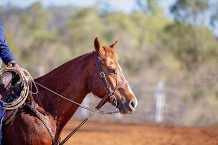Close up of a horse competing in a camp draft competition at an Australian country rodeo