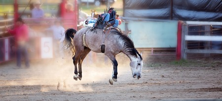 Cowboy rides an energetic bucking bronc horse in a sanctioned competition event at a country rodeo Stock Photo