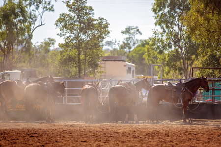 Team calf roping is a rodeo event and a very popular competitive sport in Australia. Cowboys working as a team lasso a running calf.