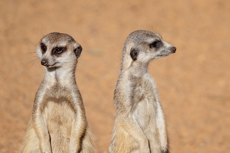Two inquisitive and cute meerkats looking around, isolated in their habitat against a brown background