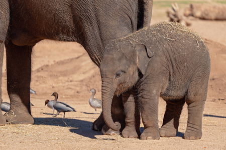 A cute baby elephant with slightly curled trunk, clinging to its mother's side Foto de archivo