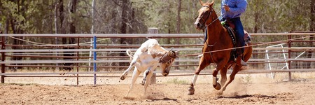 Team calf roping is a rodeo event and a very popular competitive sport in Australia. Cowboys working as a team lasso a running calf. Stock Photo