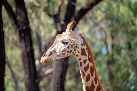 The giraffe, a long necked uniquely patterned animal popular with visitors to Australian zoos