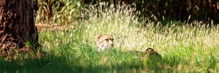 A sneaky cheetah hiding in tall grass in a patch of sunlight, waiting for its prey