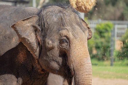 Close up of the face and trunk of the largest animal, the elephant