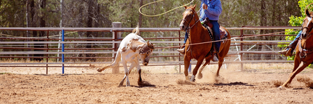 Men on horseback lassoing a running calf as a team in the calf roping sport event at a country rodeo