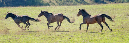 Three magnificent Australian wild horses running fast across a paddock in bright sunshine