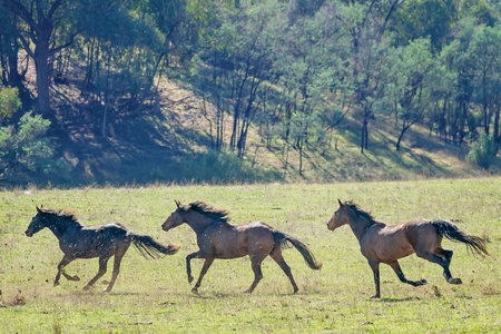 Three magnificent Australian wild horses running fast across a paddock in bright sunshine