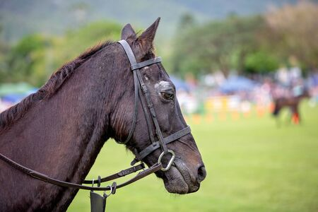 Close up of a beautiful black horse standing on a fairground waiting for its turn to compete in a show jumping event