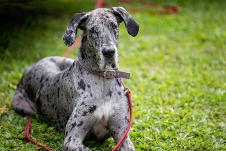 A regal and powerful grey spotted pet great dane dog sitting on grass tethered by a collar and lead