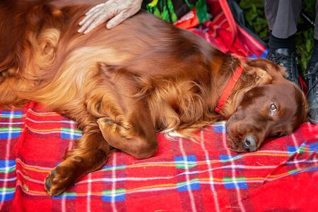 Sad and soulful expression on a beautiful spaniel lying on a red plaid blanket as its owner gives him a pat Фото со стока