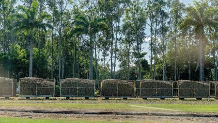 Harvested sugar cane being carted to the mill refinery by rail in bins against a forest of tall trees - Australia Фото со стока