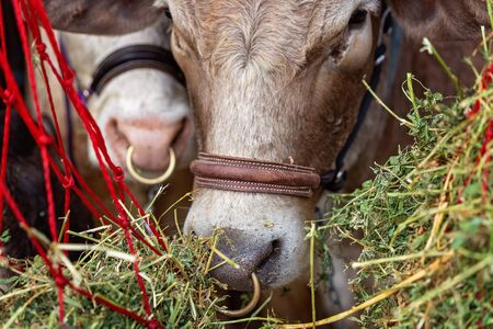 Close up of a cow with nose ring at a country fair about to be judged in a livestock event