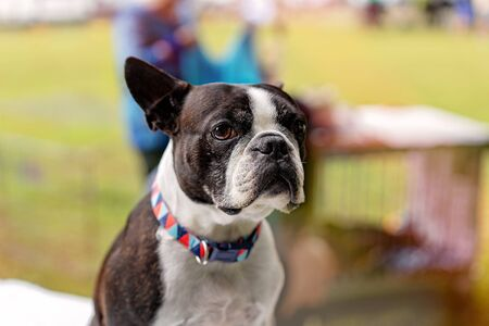 Close up of a young purebred bulldog being judged at a country show Фото со стока