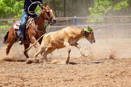 Cowboys on horseback lassoing a calf in a dusty Australian outback country paddock Stock Photo