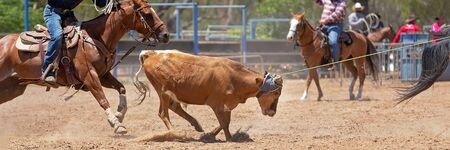 A running calf lassoed by cowboys in a dusty Australian outback country paddock Фото со стока