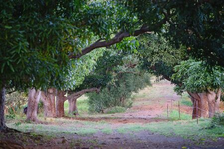 Late afternoon sunlight shining through an avenue of ancient mango trees planted many years ago Фото со стока