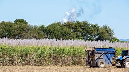 A bin loading mechanically harvested sugar cane in a field ready to be carted to the refinery
