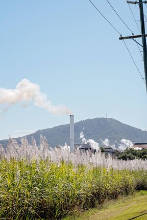 A sugar cane mill stack blowing smoke during crushing season behind a flowering field of the crop it manufactures