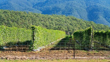 A healthy crop of green climbing beans in rows against a forested mountain backdrop