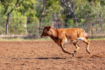 Calf running from lasso in a team roping event at a country rodeo 写真素材