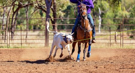 A running calf lassoed by cowboys in a dusty Australian outback country arena