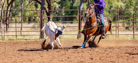 A running calf lassoed by cowboys in a dusty Australian outback country paddock Imagens
