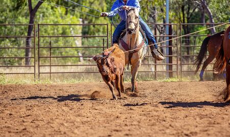 A running calf lassoed by cowboys in a dusty Australian outback country paddock Imagens - 128283664