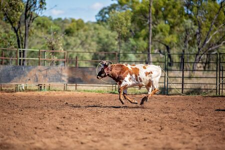 Calf being lassoed in a team calf roping event by cowboys at a country rodeo Imagens - 128283685