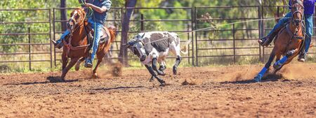 A running calf lassoed by cowboys in a dusty Australian outback country rodeo arena Imagens - 128283733