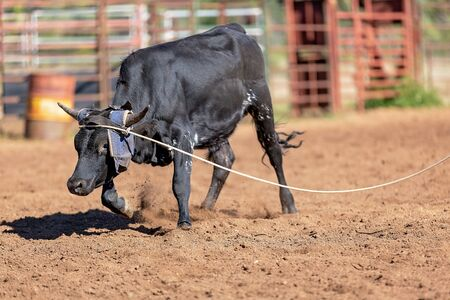 Calf being lassoed in a team calf roping event by cowboys at a country rodeo Imagens - 128283798