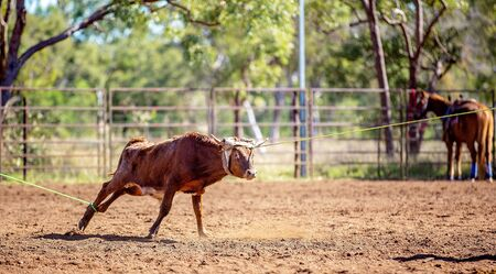 Calf being lassoed in a team calf roping event by cowboys at a country rodeo Imagens - 128283800