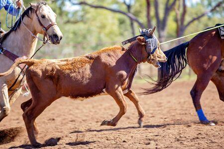 Ein laufendes Kalb, das von Cowboys in einer staubigen Rodeo-Arena im australischen Outback mit dem Lasso gefesselt wird Standard-Bild