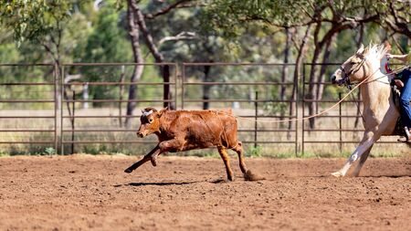 Calf being lassoed in a team calf roping event by cowboys at a country rodeo Imagens - 128283811