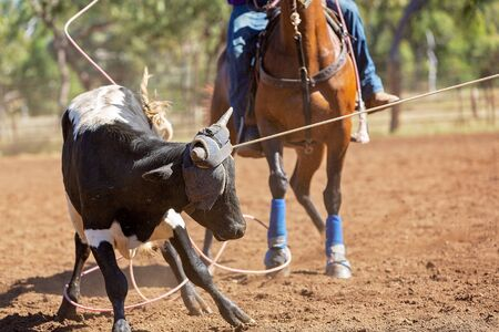 A running calf lassoed by cowboys in a dusty Australian outback country rodeo arena Imagens - 128283820