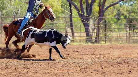 A running calf lassoed by cowboys in a dusty Australian outback country rodeo arena