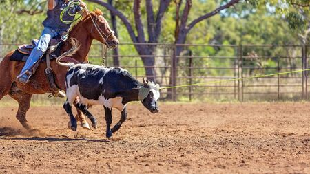 A running calf lassoed by cowboys in a dusty Australian outback country rodeo arena Imagens - 128283819