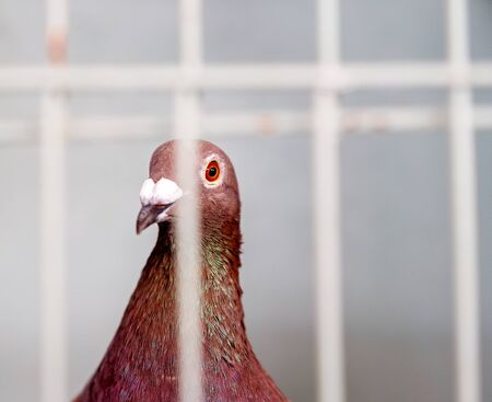 An caged fowl entrant waiting to be judged in the bird exhibit of a poultry competition at a country agricultural show
