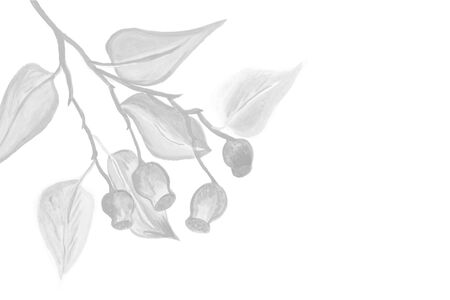 Hand painted gum nuts and leaves illustration brushed onto white background with copy space, for your designs and artwork