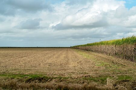Sugar cane field showing some of the crop harvested and the rest still standing Reklamní fotografie - 129924981
