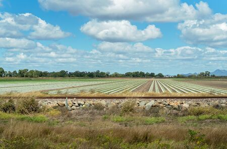 Rows of plastic laid down over soil to contain moisture and prevent weeds in vegetable crop Reklamní fotografie - 129924984