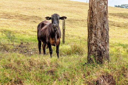 Young dairy cow calf standing against a fence on a hillside chewing grass and staring at the interlopers Reklamní fotografie - 129925189