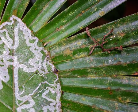 Close up of a green and white patterned leaf on a green palm front, both beginning to decay