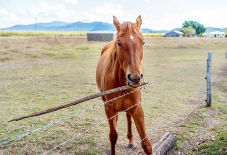 A beautiful brown horse amusing himself alone playing with a stick in a fenced country paddock Reklamní fotografie